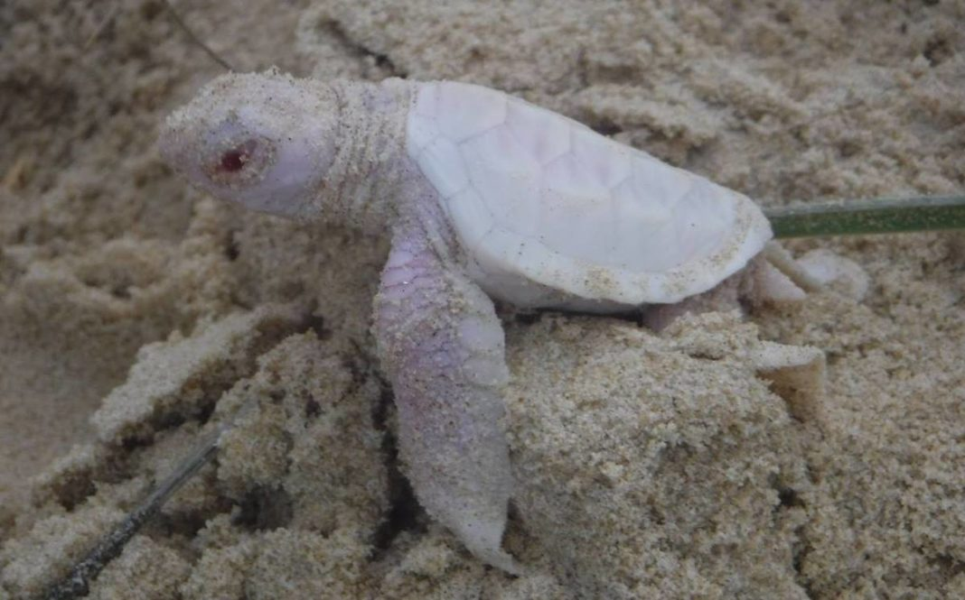 Tortuga albina