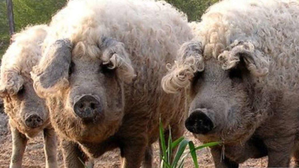 Conoce al cerdo mangalica que parece una oveja   Periódico El Sol COLOMBIA