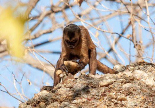 Un mono silbador machaca una piedra. Imagen: T. V. Falótico Fuente: medio ambiente