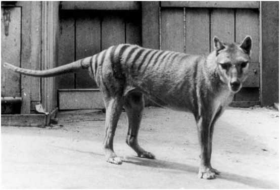 El tigre de Tasmania (Thylacinus cynocephalus)