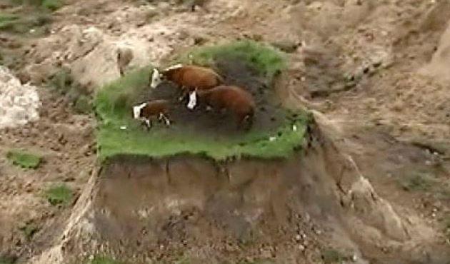 vacas-nueva-zelanda