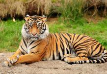 tigre Animal Planet
