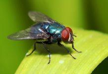moscas cancer