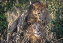 leones gay