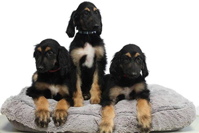 perros-clonados-snuppy-universidad-seul+1