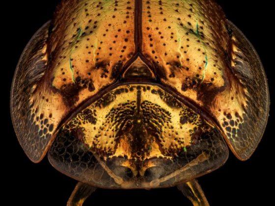 Escarabajo tortugaoro