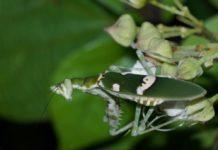 Mantis Flor de la India