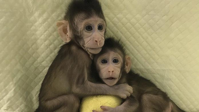 Macacos clonados, Zhong Zhong y Hua Hua. Por: Rt.