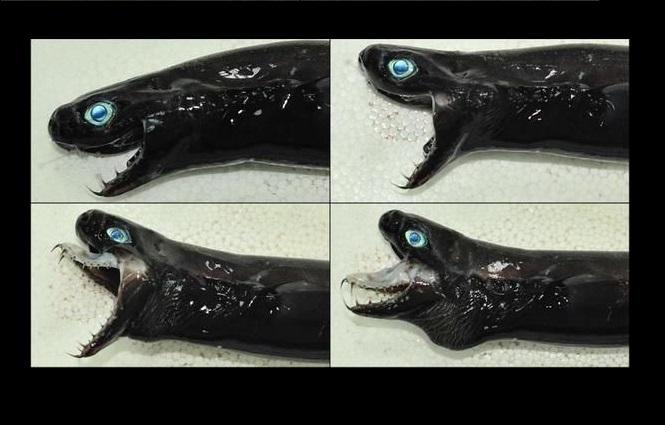Trigonognathus kabeyai. Por: Science Alert.