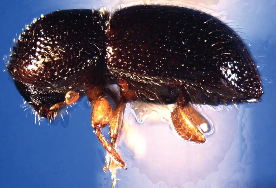 escarabajos de ambrosía+1