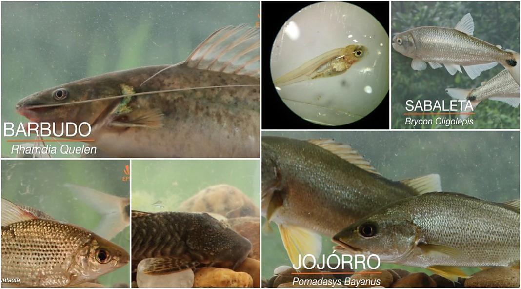 peces nativos en cautiverio+1