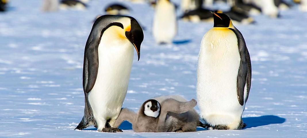pinguinos-antartica+1