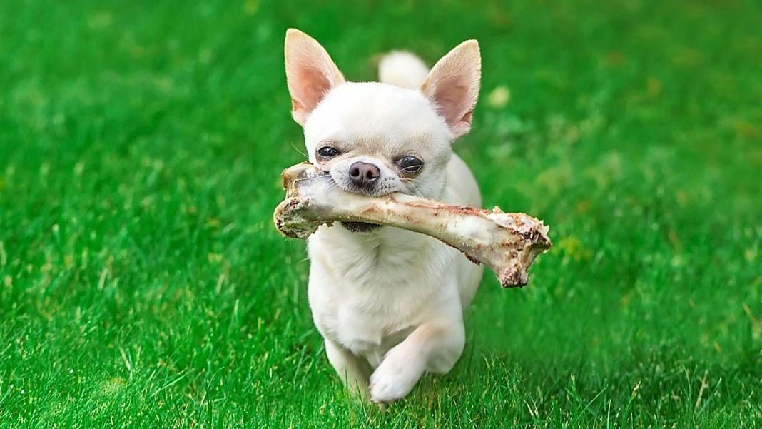 perro hueso+1