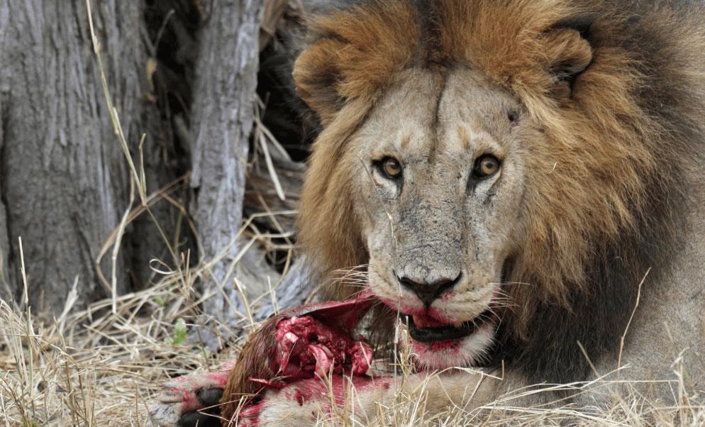 leon comiendo
