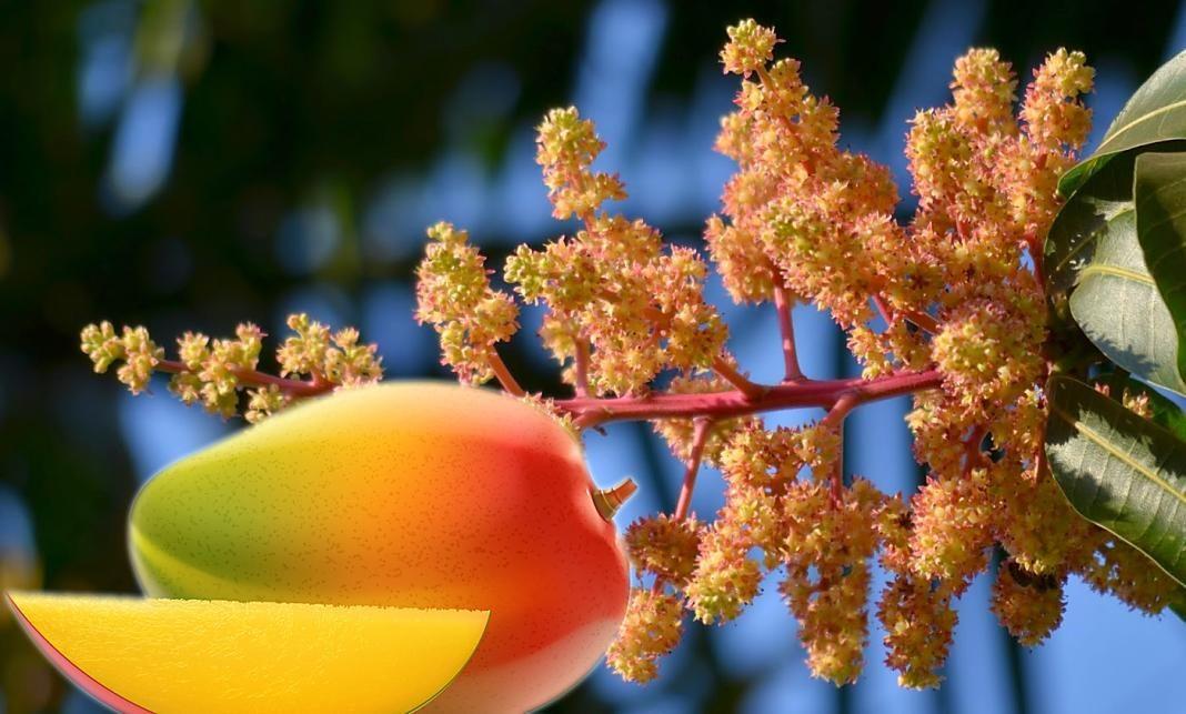 Inflorescencia del mango+1