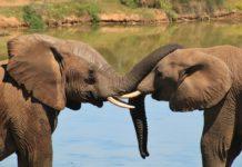 elefantes+1