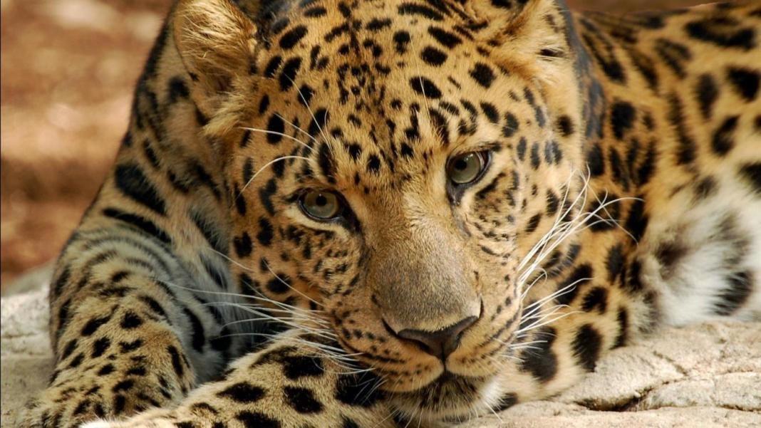 leopardos del Amur+1