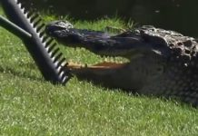 caiman-golf