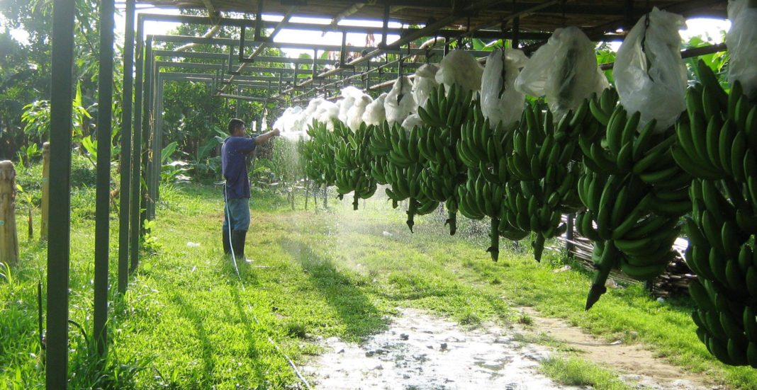 zona bananera