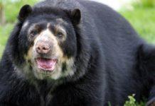 oso chucho