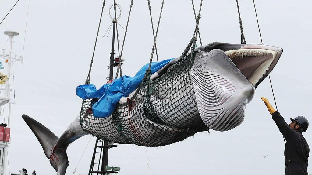 caza de ballenas minke