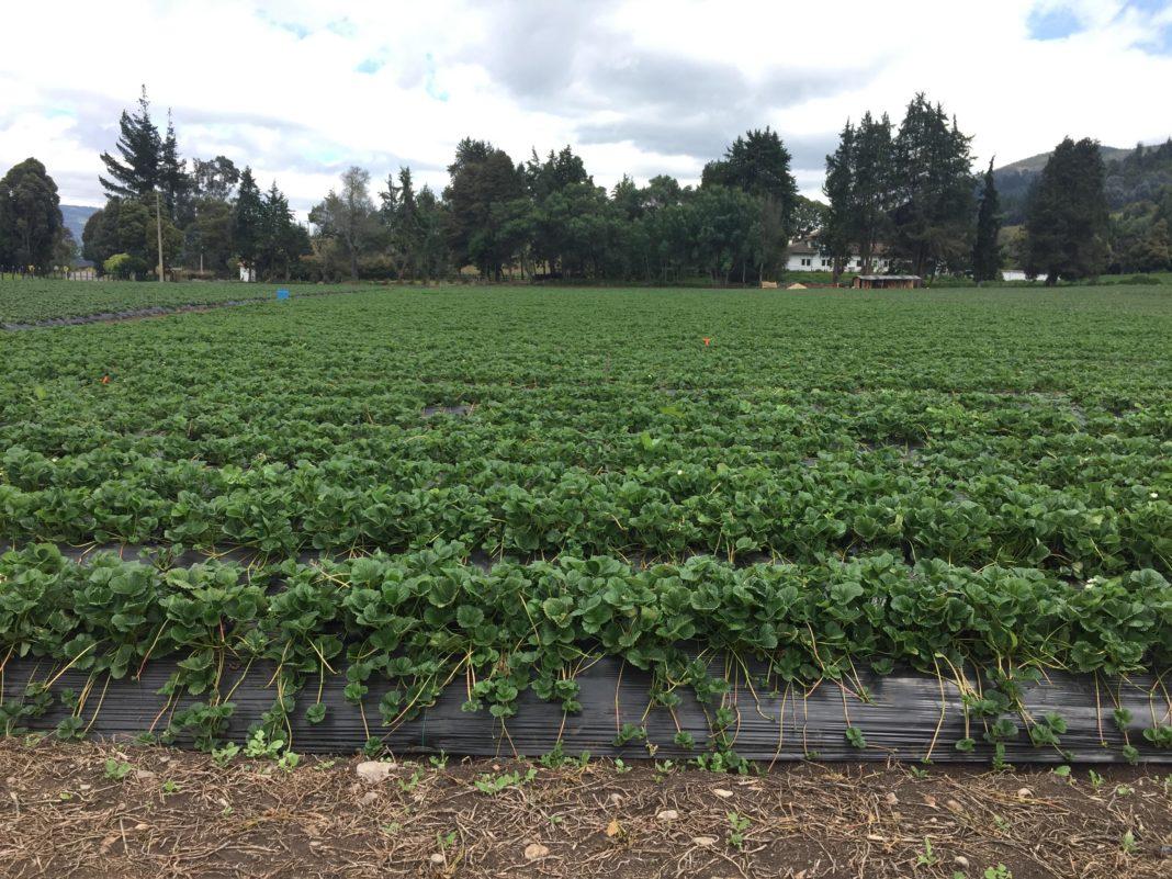 Cultivo de Fresa Subachoque